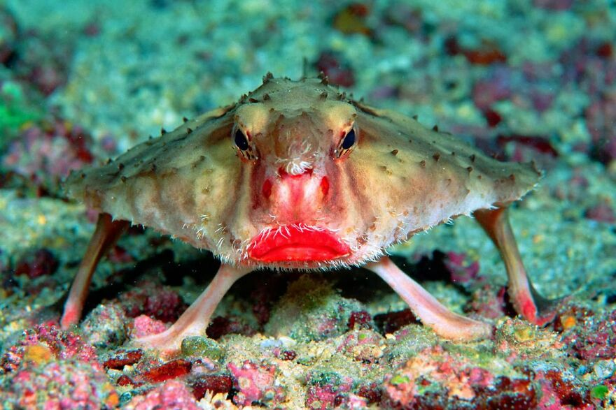 The Red-Lipped Bat Fish