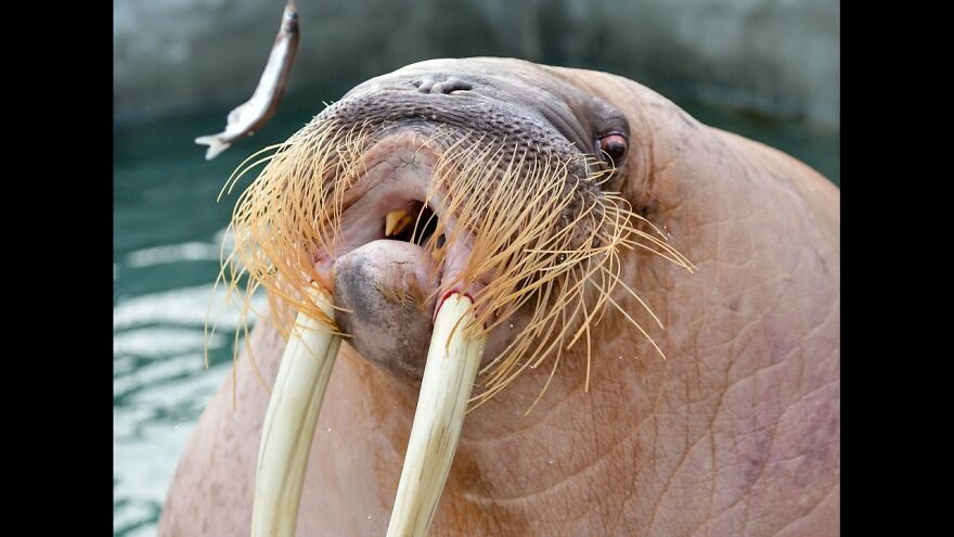 This Walrus