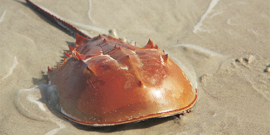 The Horse Shoe Crab