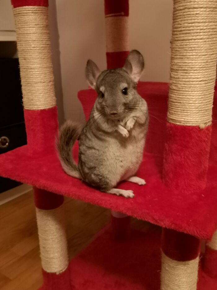 This Is Millie, One Of Our Two Chunky, Fun And Adventurous Chinchillas. Love The Little Rascals!