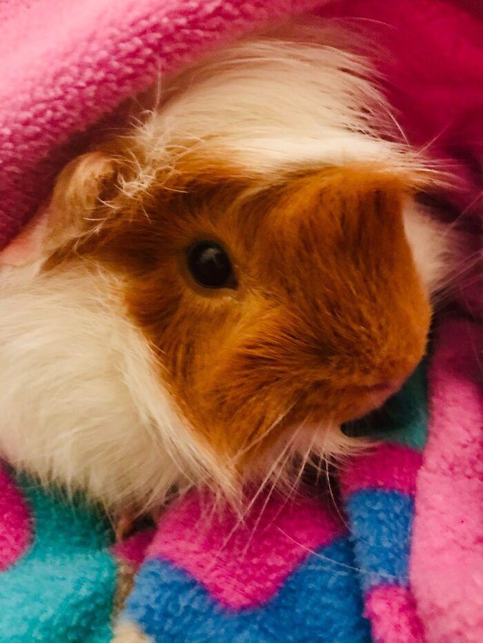 My Peruvian Guinea Pig Herbie! So Colorful!