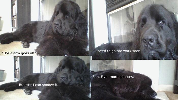 My Newfoundland Dog As A Meme
