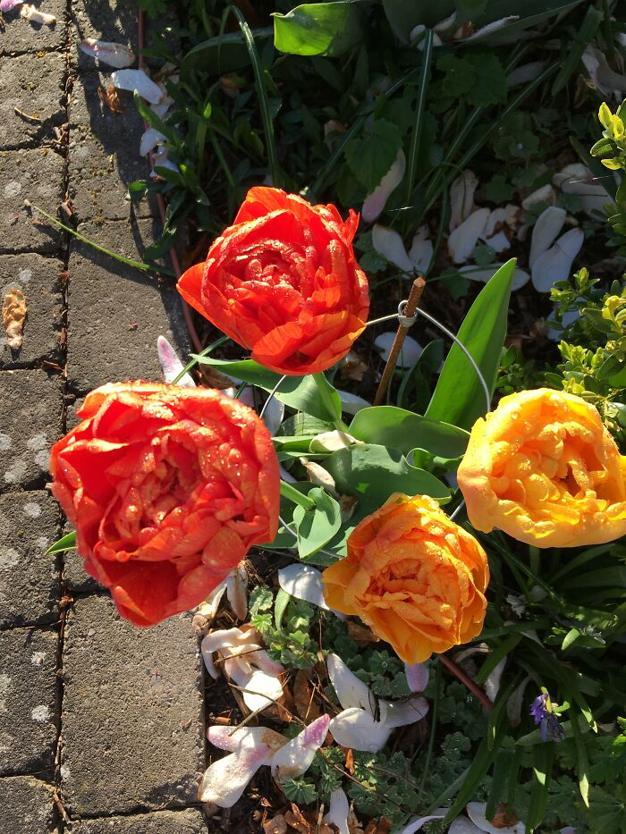 Hard To Find Tulip Bulbs....these Were About 14cm Across And Needed Support..