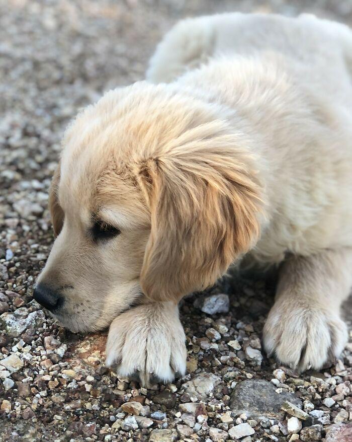 Jacob My Golden Retriever Puppy