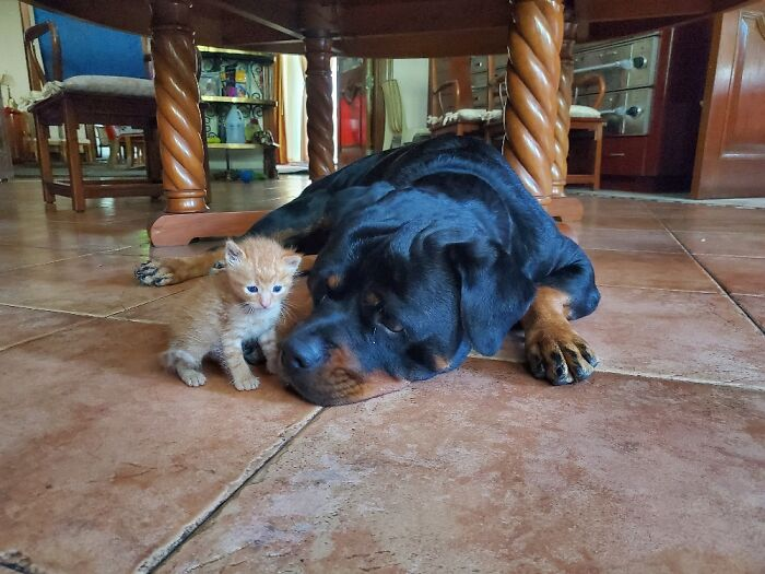 August The Rottie And Scout Tgr Orange Tabby