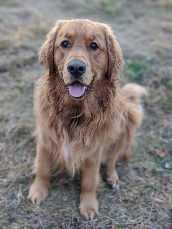 A Giant 2 Year Old Golden Retriever We Call Butters🐶