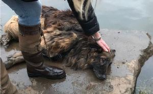 Rescatan a un pastor alemán que pasó horas atado a una roca en el agua helada, y ya tiene una nueva familia