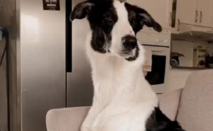 """Folks Claim That He Has Giraffe DNA In There Somewhere"" - This Borzoi And German Shepherd Mixed Dog Has A Very Long Neck"