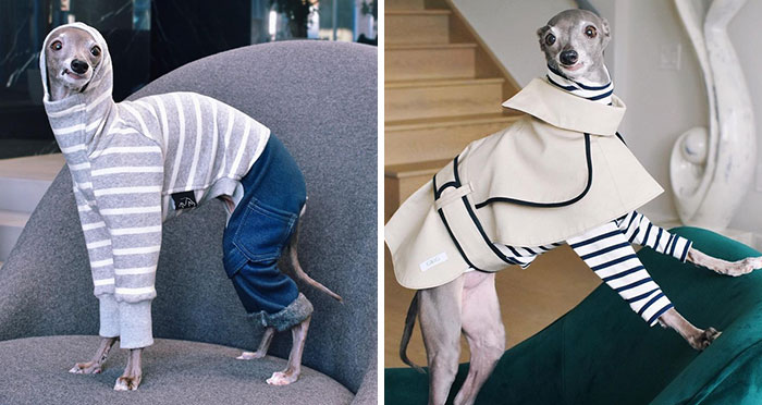 Gay Couple Dresses Up Their Italian Greyhound In Trendy Clothes, And She Has Become A Fashion Icon (71 Pics)