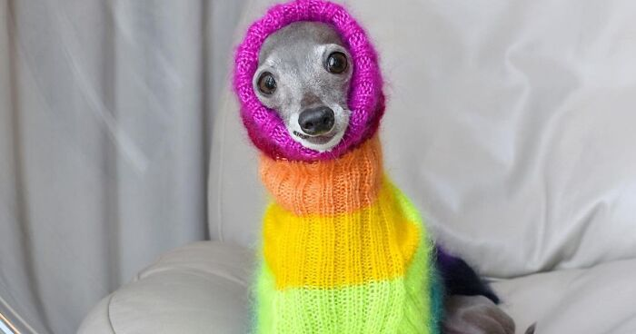 Meet Tika The Iggy, An Italian Greyhound Dog Fashion Icon (71 Pics)