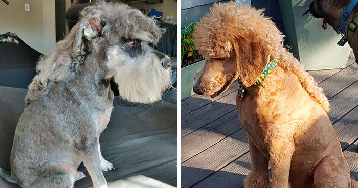 30 Pics Of Dogs With Mullets That Are Making The Internet Confused