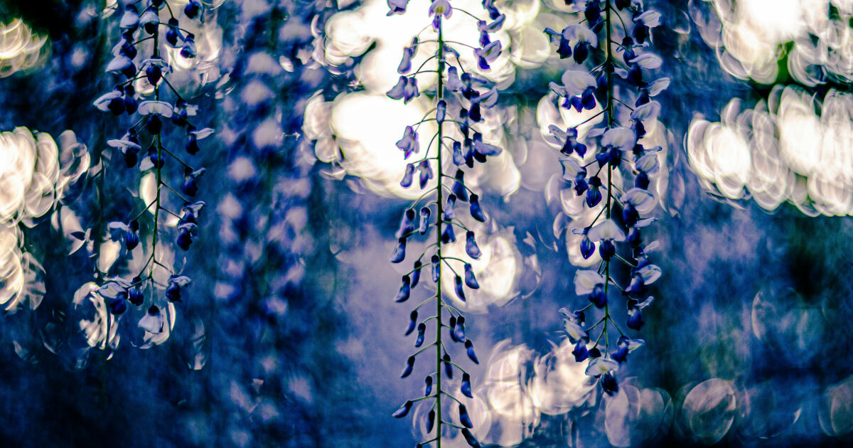 I Photographed Japanese Wisteria And Pictures Look Like Paintings