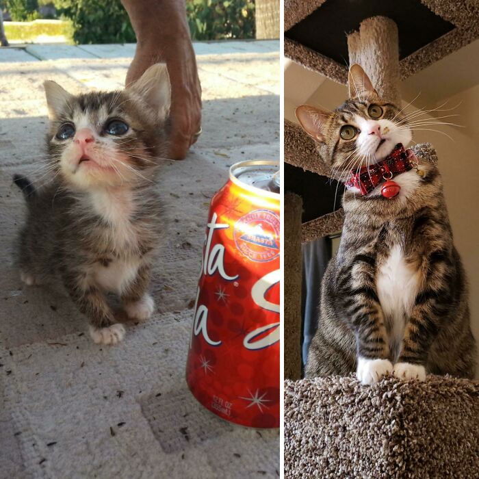 Bean Was A Microkitten. Here She Is At 8 Weeks vs. 5 Years. She Has Some Bone Deformities That Limit Her Front Leg Mobility And Is Still Under 6lbs
