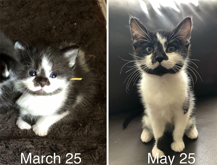 From Kitten To... Older Kitten: The Two-Month Transformation Of My Foster Baby, Rollie. She Was Approximately 2 Weeks When I Got Her (With Mama, Eyes Just Opened)