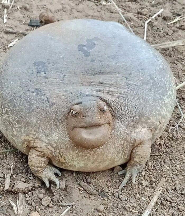 This Absolute Unit Of Bullfrog