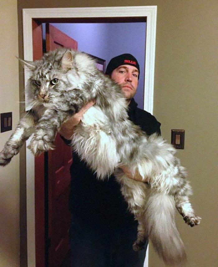 This Maine Coon Is An Absolute Unit!