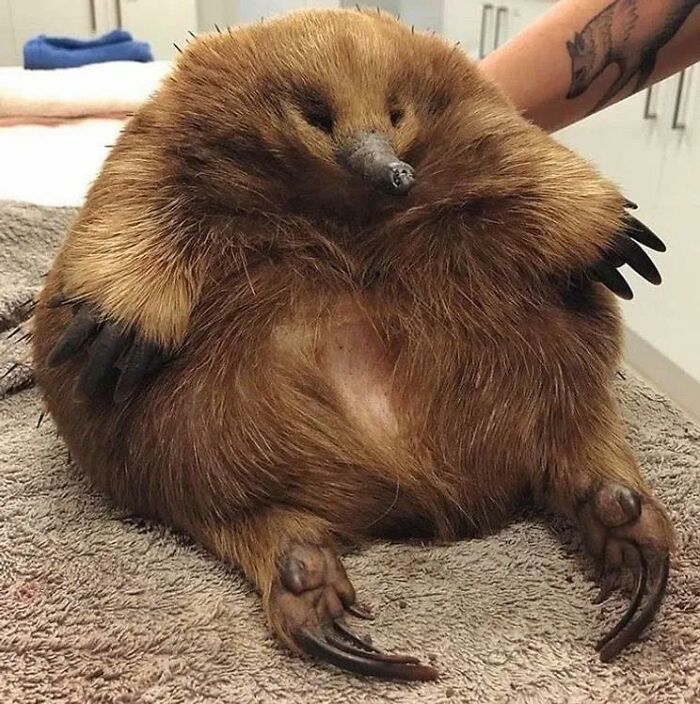 This Unit Of An Echidna Came Into The Wildlife Sanctuary. She Got Clipped By A Car But She's Fine