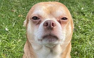 Esta campaña de adopción revela todos los defectos de este chihuahua endemoniado y se vuelve viral