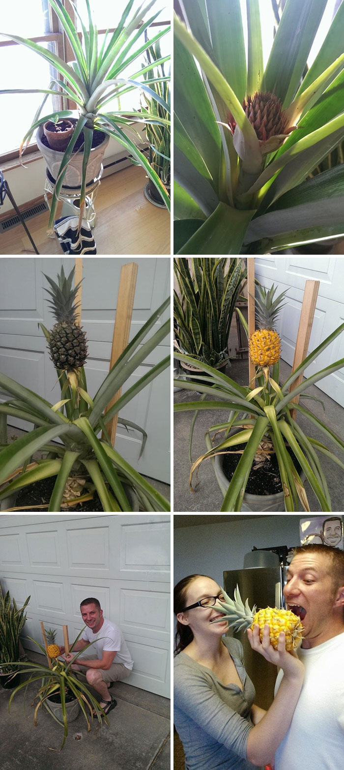 Everyone Said I Was Out Of My Mind 3 Years Ago When I Started Growing A Pineapple From One I Bought At The Grocery Store. Well Who's Laughing Now