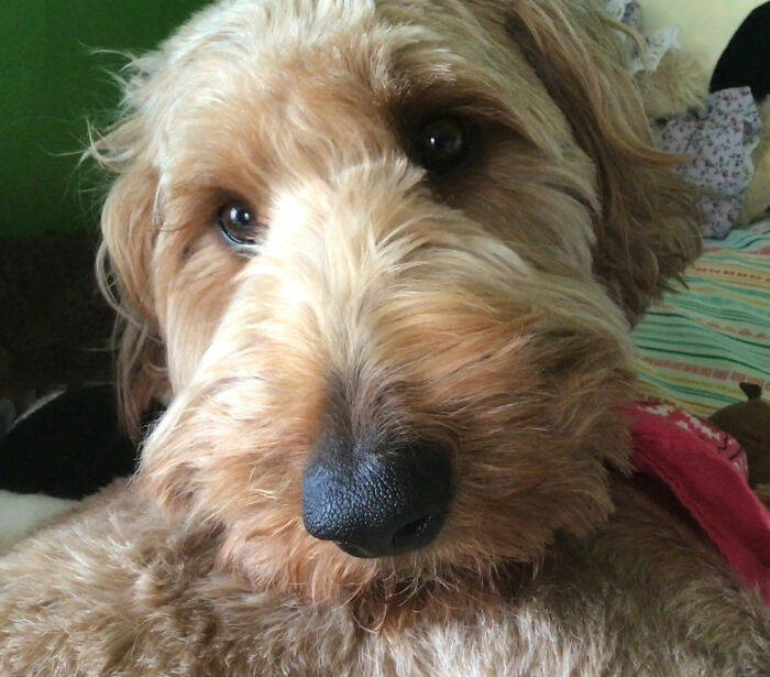 This Is Bailey She Is 2 Years Old Pls Rate Her Pretty Face She Is An Irish Doodle