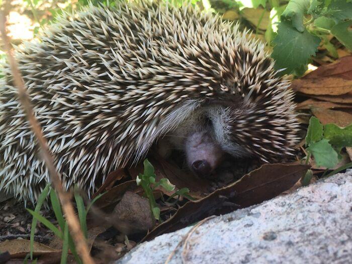 My Hedgehog Snuffles