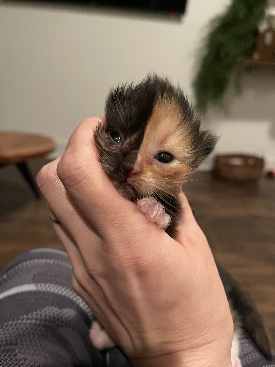 Meet Apricot, An Orphaned Chimera Kitten That Looks Like Two Different Cats Merged Into One
