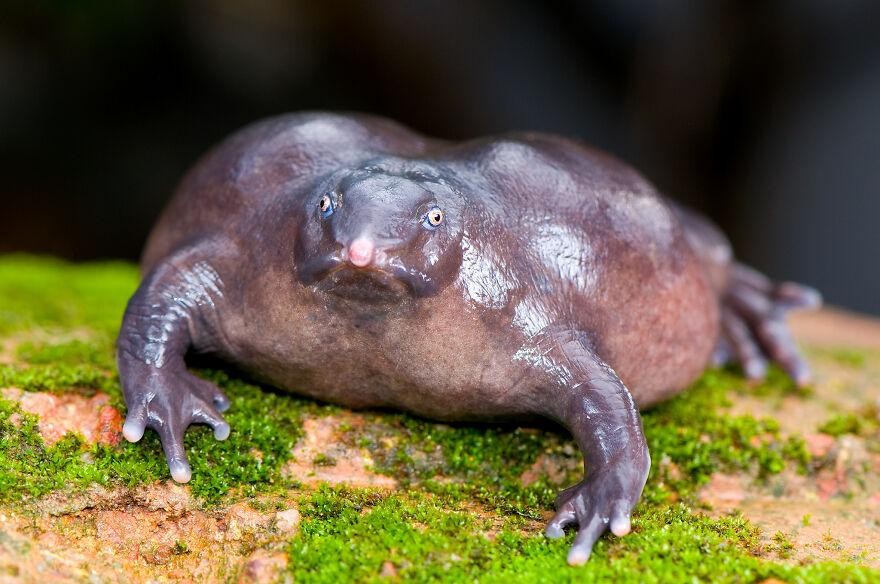 The Purple/Pig-Snout Frog