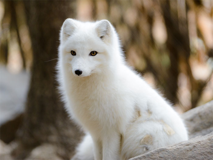 Iceland's Only Native Land Mammal Is The Arctic Fox