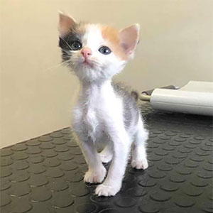 Abandoned Kitten With Small Body But Strong Will To Live Undergoes A Transformation And Turns Into A Gorgeous Calico Cat
