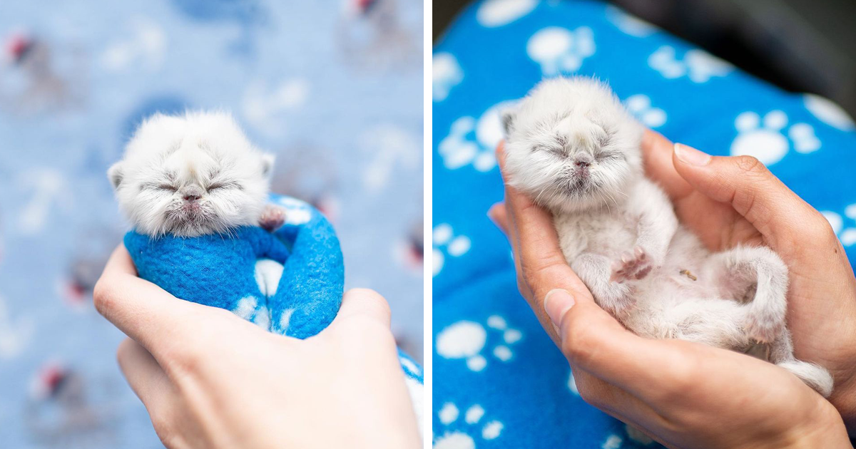 Meet Grandpa The Newborn Kitten Who Took Over The Internet With His Unusual Looks And Charm