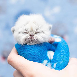Este es Grandpa, un gatito recién nacido que triunfa en Internet con su inusual aspecto y encanto