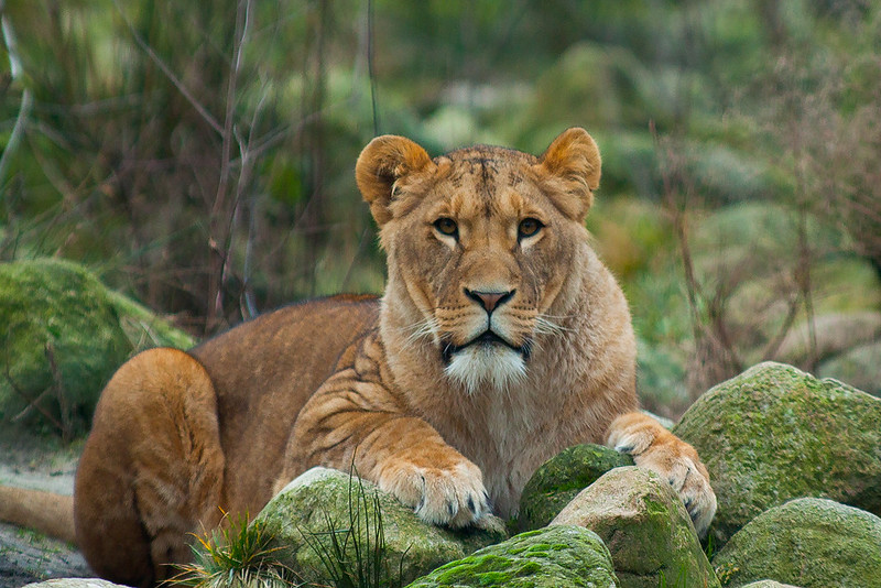 Asiatic Lions Are Living In Girnar Wildlife Sanctuary; Make A Halt Here