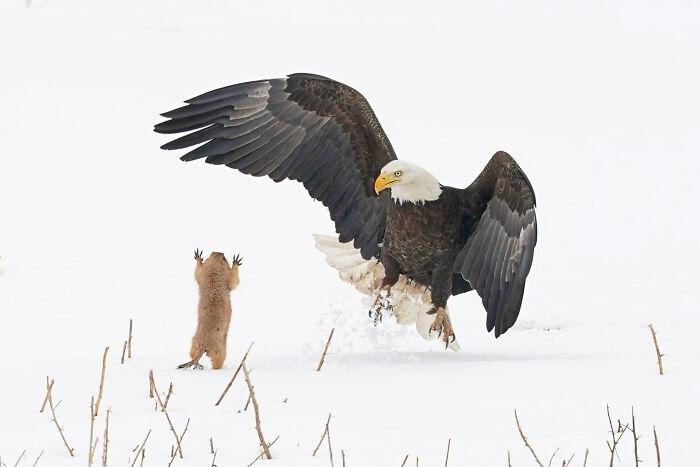 """""""El águila calva recibe una sorpresa"""" por Arthur Trevino"""
