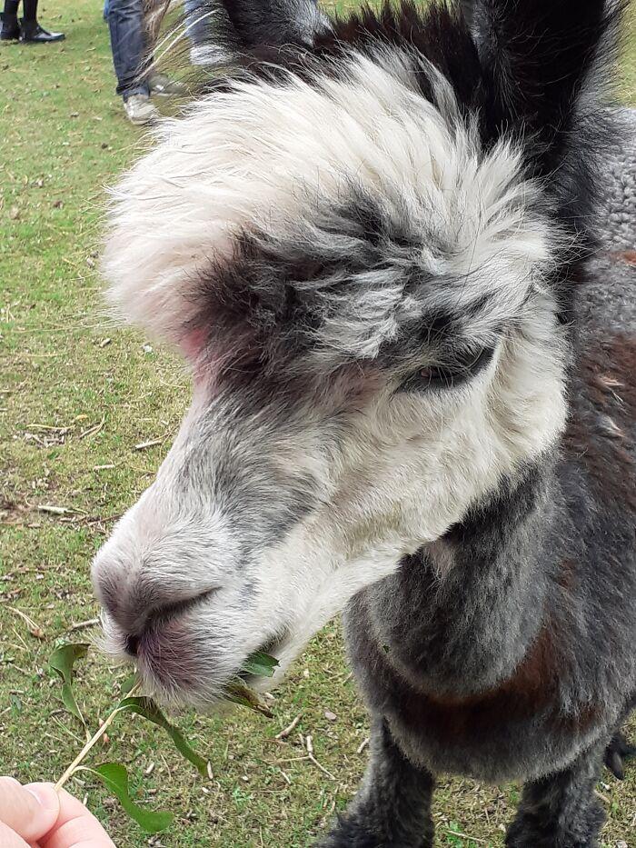 Alpaca Who Liked To Eat Coats