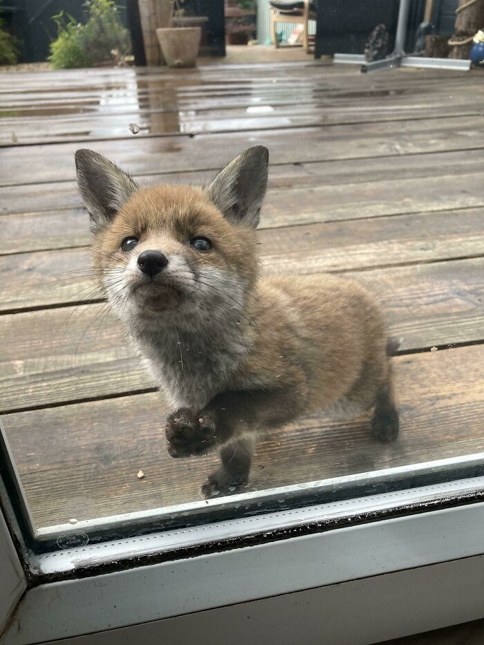 This Tiny Fox Has Been Visiting Our Garden Every Day And Wants To Be Friends
