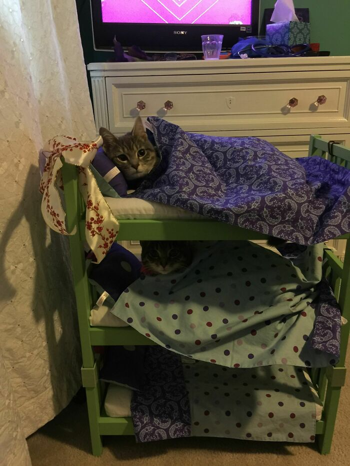 My Niece Decided That Her Cats Should Sleep In Bunk Beds