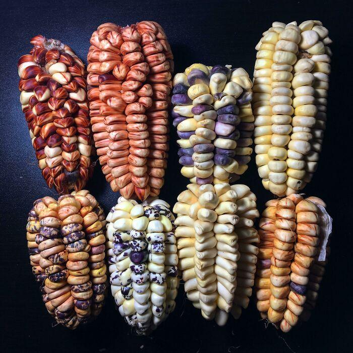 Variedades de maíz en los Andes peruanos
