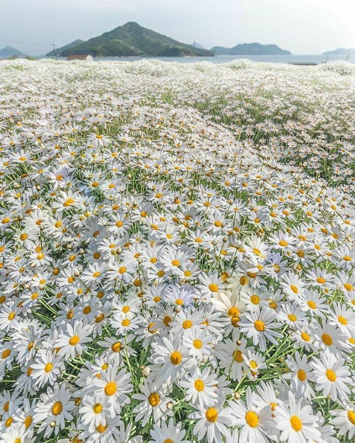 Margaritas En El Parque Floral De Urashima En Japón