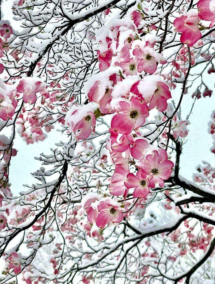 Flores rosas en la nieve, Kansas