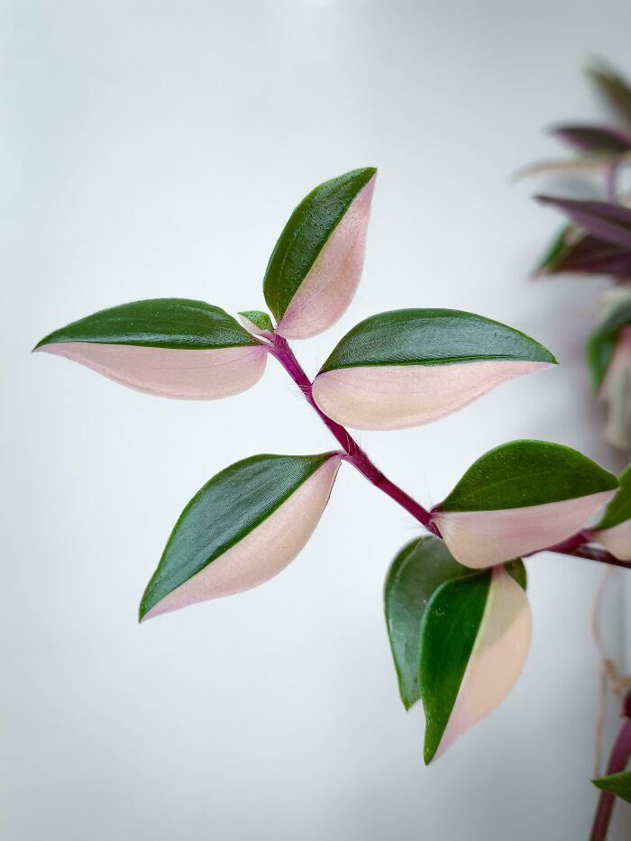 "Esta planta se llama ""amor de hombre"" (tradescantia fluminensis tricolor)"