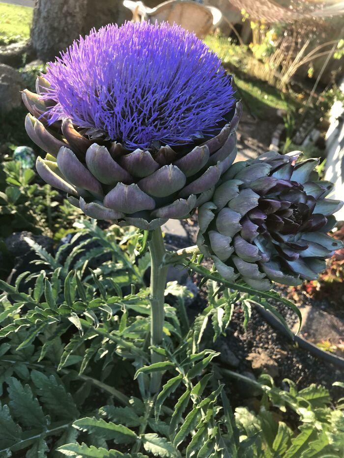 Alcachofa florecida