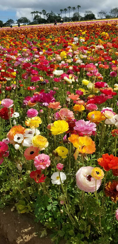 Campo de ranúnculos de colores en Carlsbad, California