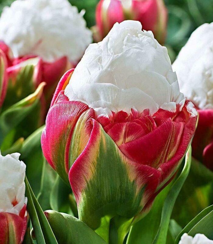 """Variedad de tulipán llamada """"helado"""""""