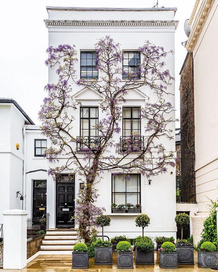 Glicinia trepando por una casa de Londres