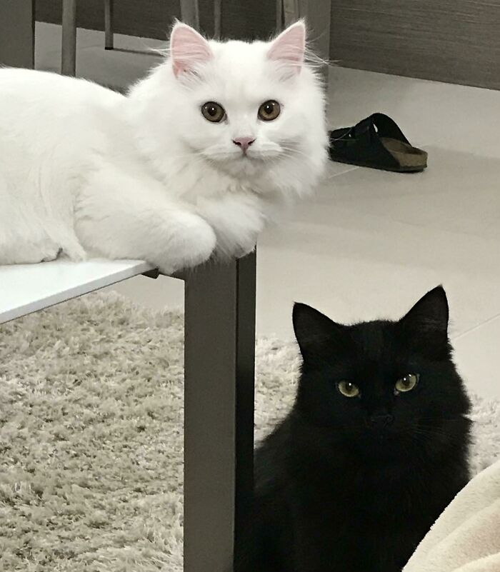 My Snowball And My Void. Finally Got Them Looking At The Camera Together