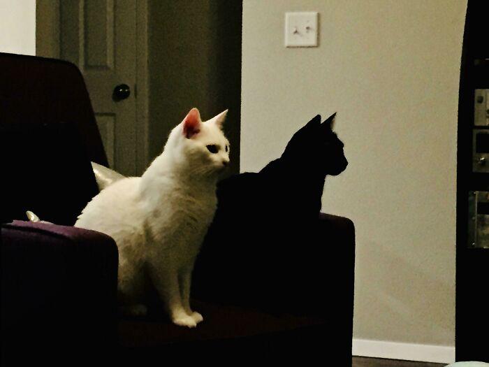 My Black Cat Looks Like My White Cat's Shadow