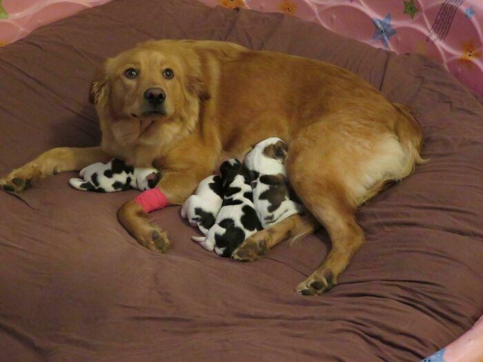 No era exactamente lo que estábamos esperando: nuestra perra de acogida, que es una mezcla con Golden, tuvo bebés ayer, vacas bebés. Es una madre orgullosa