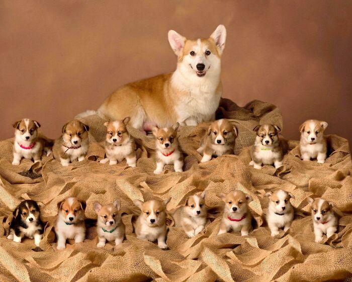Orgullosa madre Corgi con su camada de 15 cachorritos