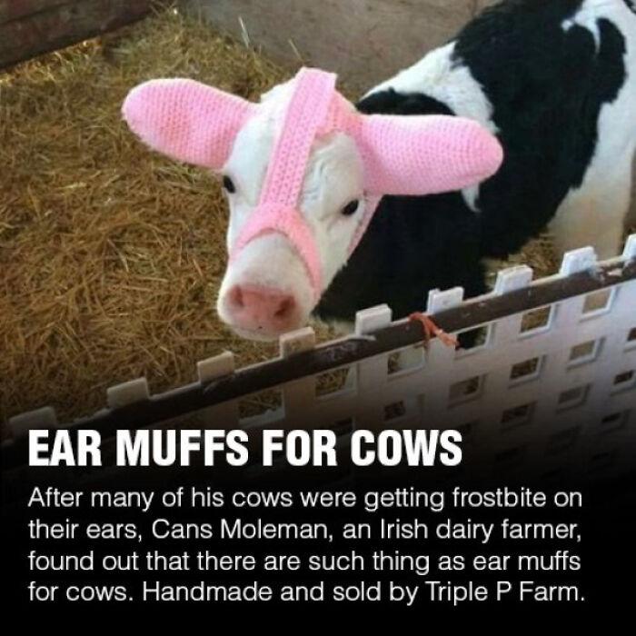 Cow Ear Muffs
