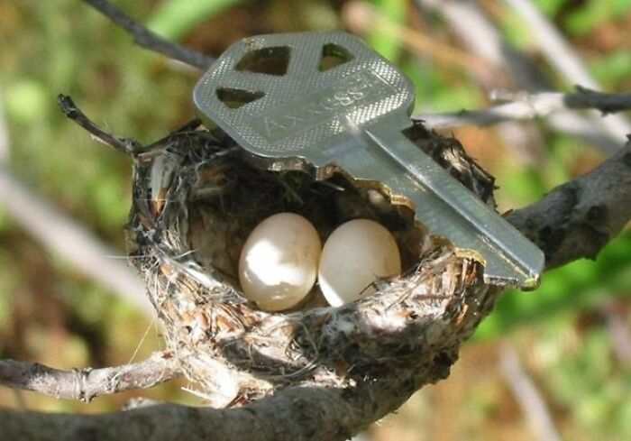 Hummingbird Eggs And Nest. Key For Scale